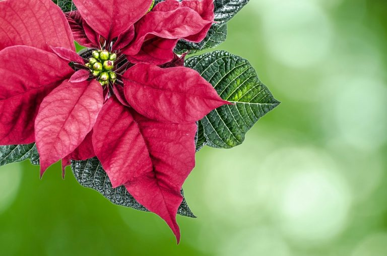 Don't Throw Out Your Poinsettia!