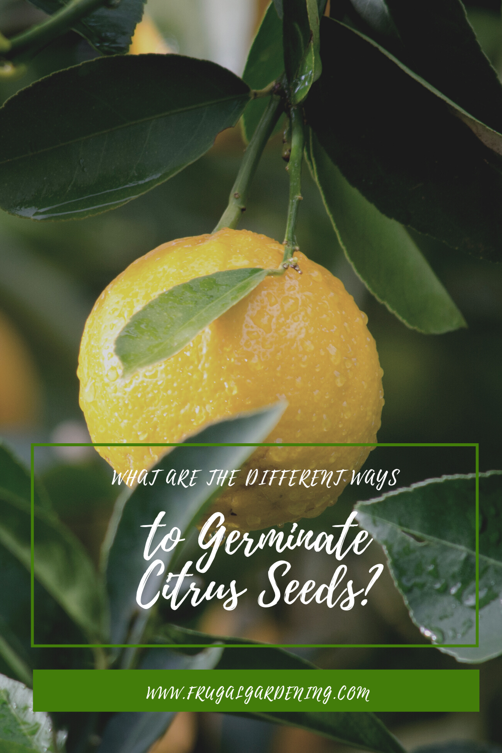 What Are the Different Ways to Germinate Citrus Seeds