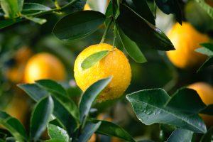 Germinate citrus seeds