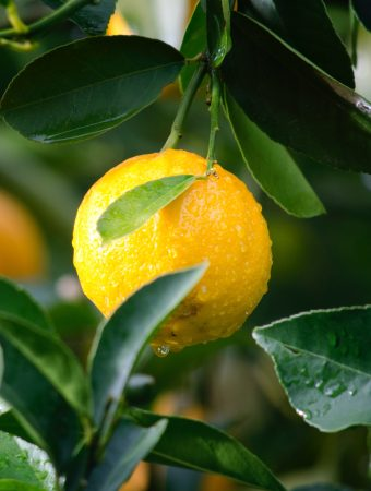 Germinate citrus seeds