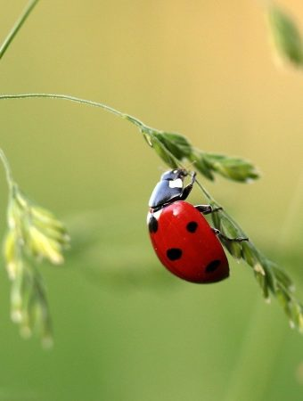 ladybugs versus Asian lady beetles