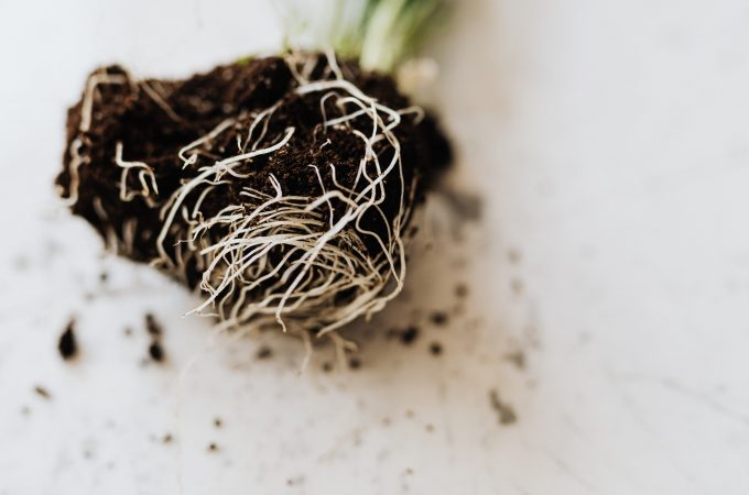 pruning plant roots