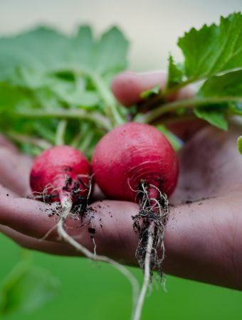 Close up of person holding radishes