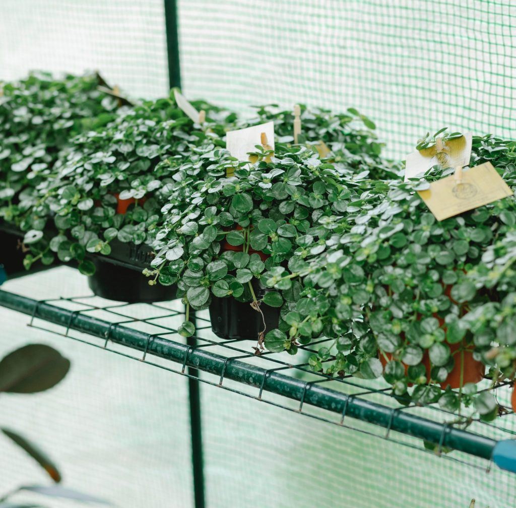 buying seedlings